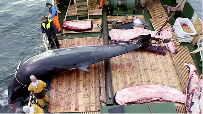 Российские экологи обращаются к ООН и норвежскому королю с просьбой запретить лов китов